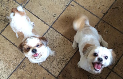 Brock and Benny - Two brown and white Shih Tzu dogs - family pets of Team Keppel Real Estate